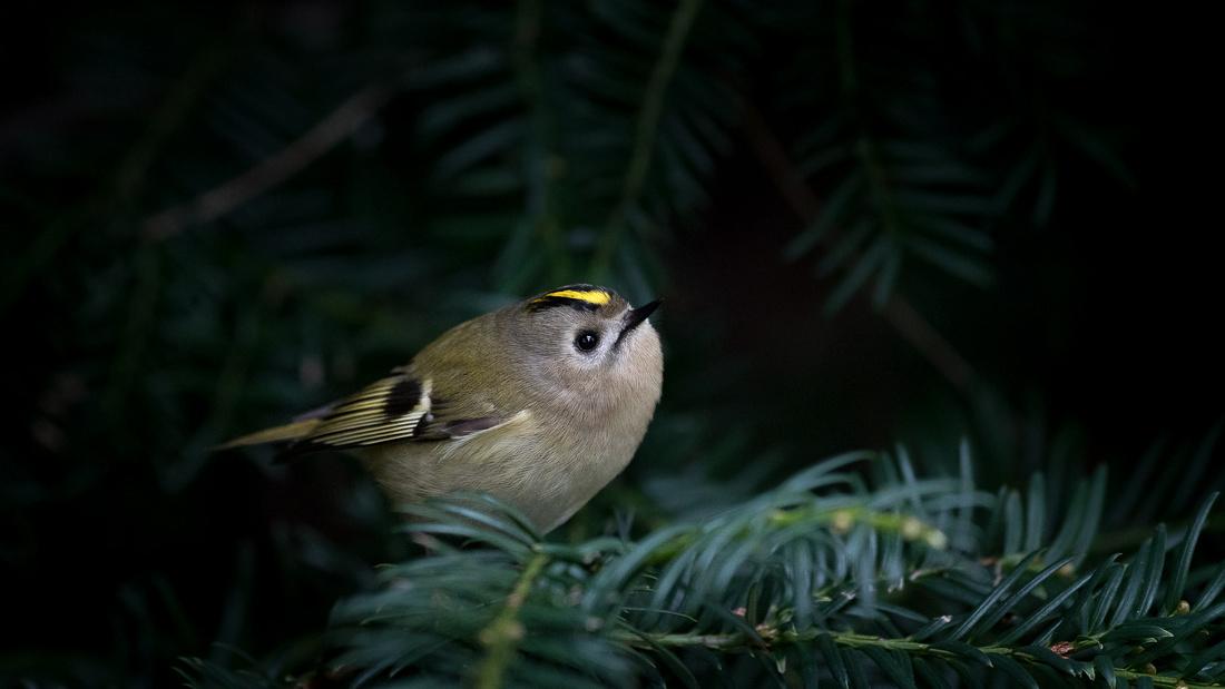Wintergoldhähnchen auf Ast einer Tanne