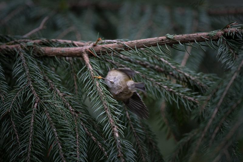 Hinterteil vom sich versteckenden Wintergoldhähnchen