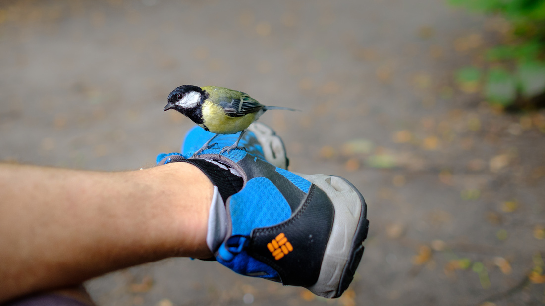 Kohlmeise auf Schuh im Park