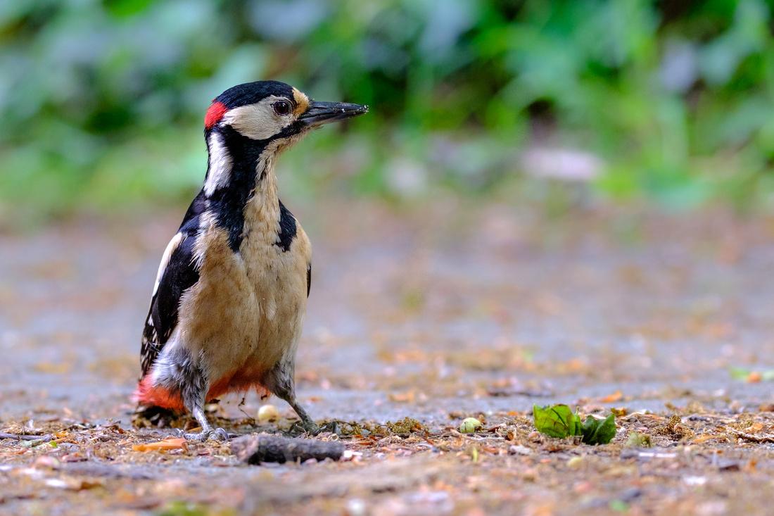 Buntspecht, Männchen sitzt neugierig auf dem Boden